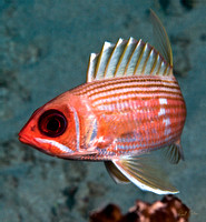 St. Croix Squirrelfish Flair 16x18