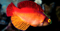 Flame Wrasse 11x14