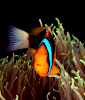 Anemone Clownfish at Home in Palau 12x12