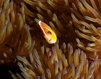 Pink Anemonefish Confidential 14x18