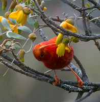 Honey-Creeper-Working-April-2016