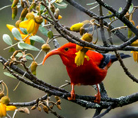 Hawaiian Honey Creeper