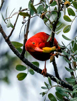 Honey-Creeper-2-April-2016