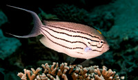 Angelfish Blackstripe Profile 24x14