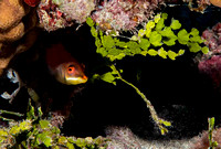 Disappearing-Wrasse-by-the-Halameda-Curtain